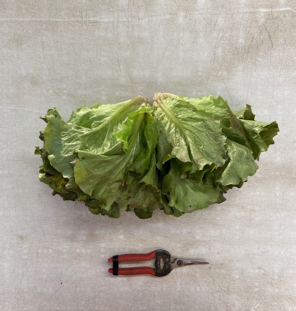 lettuce 2019 winter